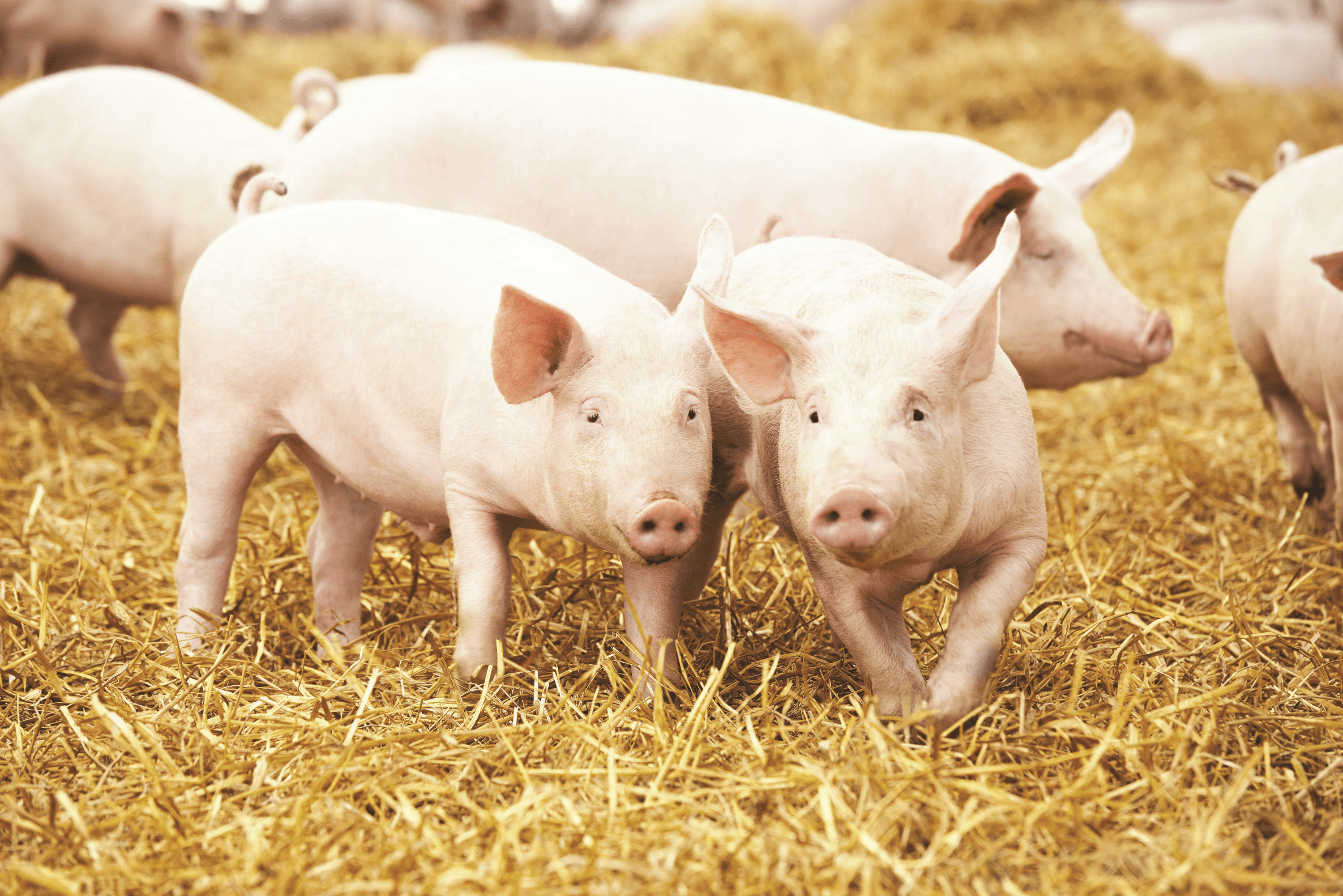 Swine nutritional experts identify future challenges for the industry