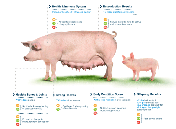 Organic Trace Minerals Equip Sows and Piglets for Profitable Performance