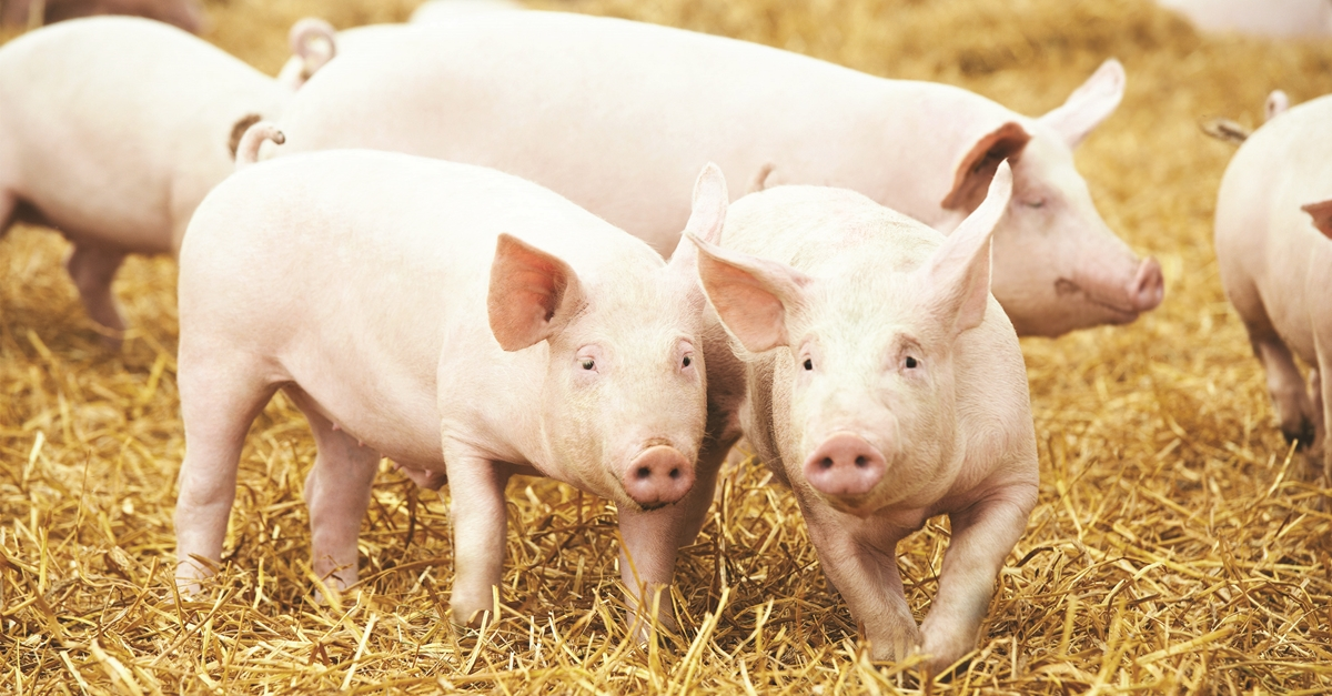 Effect of Trace Minerals on Sow Productivity and Longevity