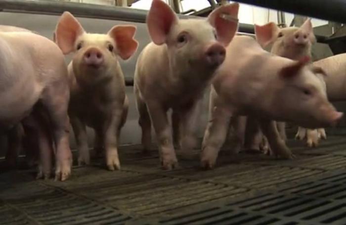 """Webinar """"Alimentando Cerdos Hiperprolíficos para Lechones Rentables"""""""