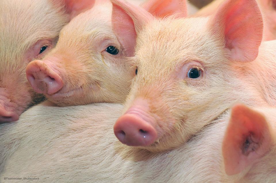 Alternatives to zinc oxide for more potent piglets