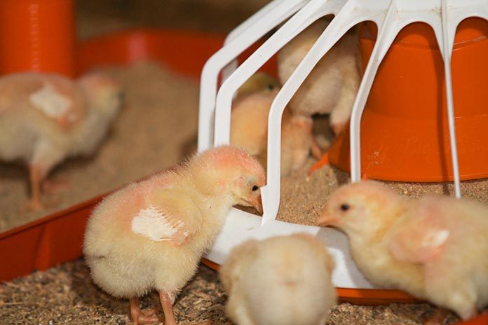 Use of Protected Benzoic Acid in Sustainable Poultry Production
