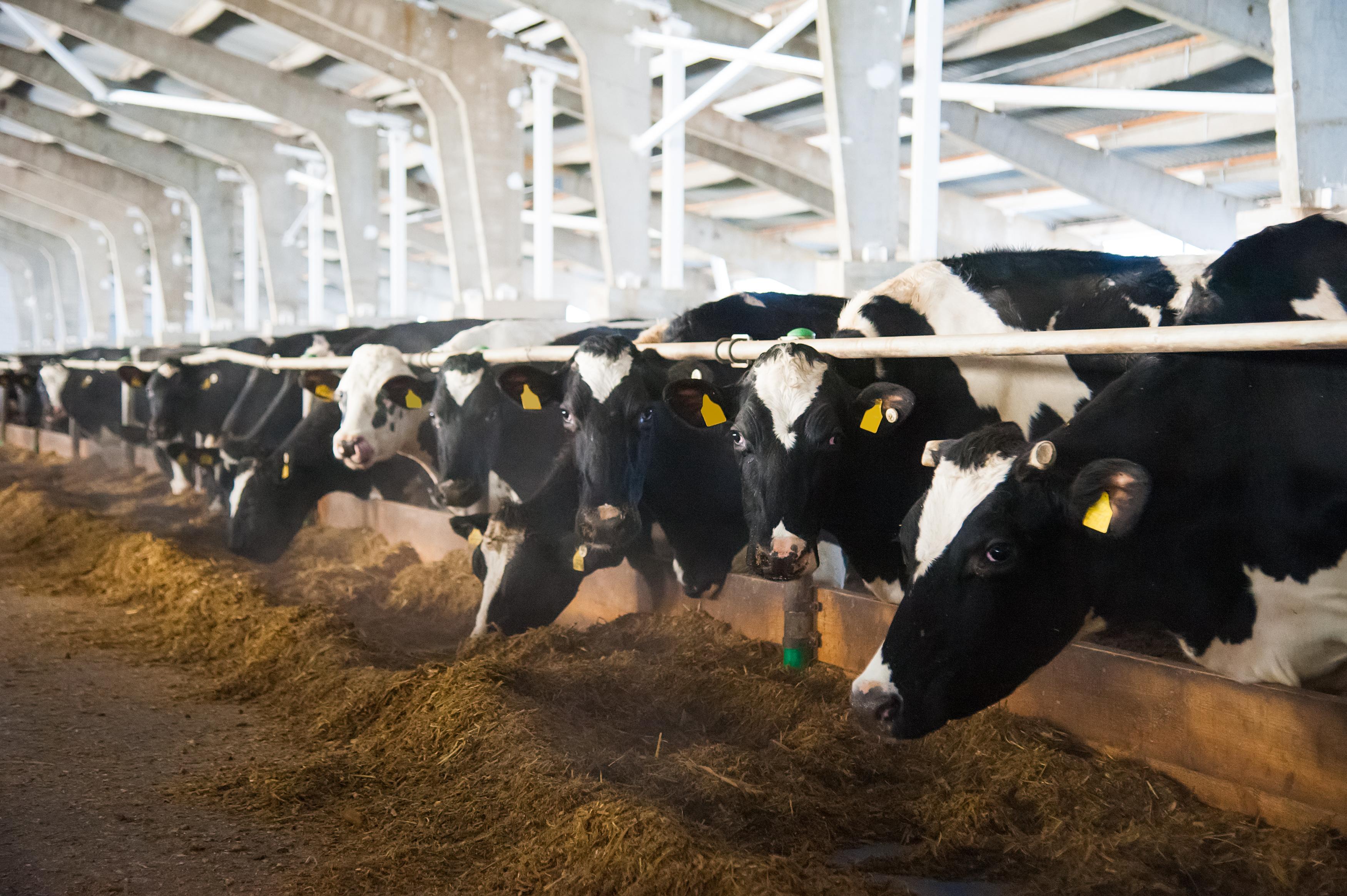 The Often-Forgotten Role of Minerals in Dairy Cattle Fertility
