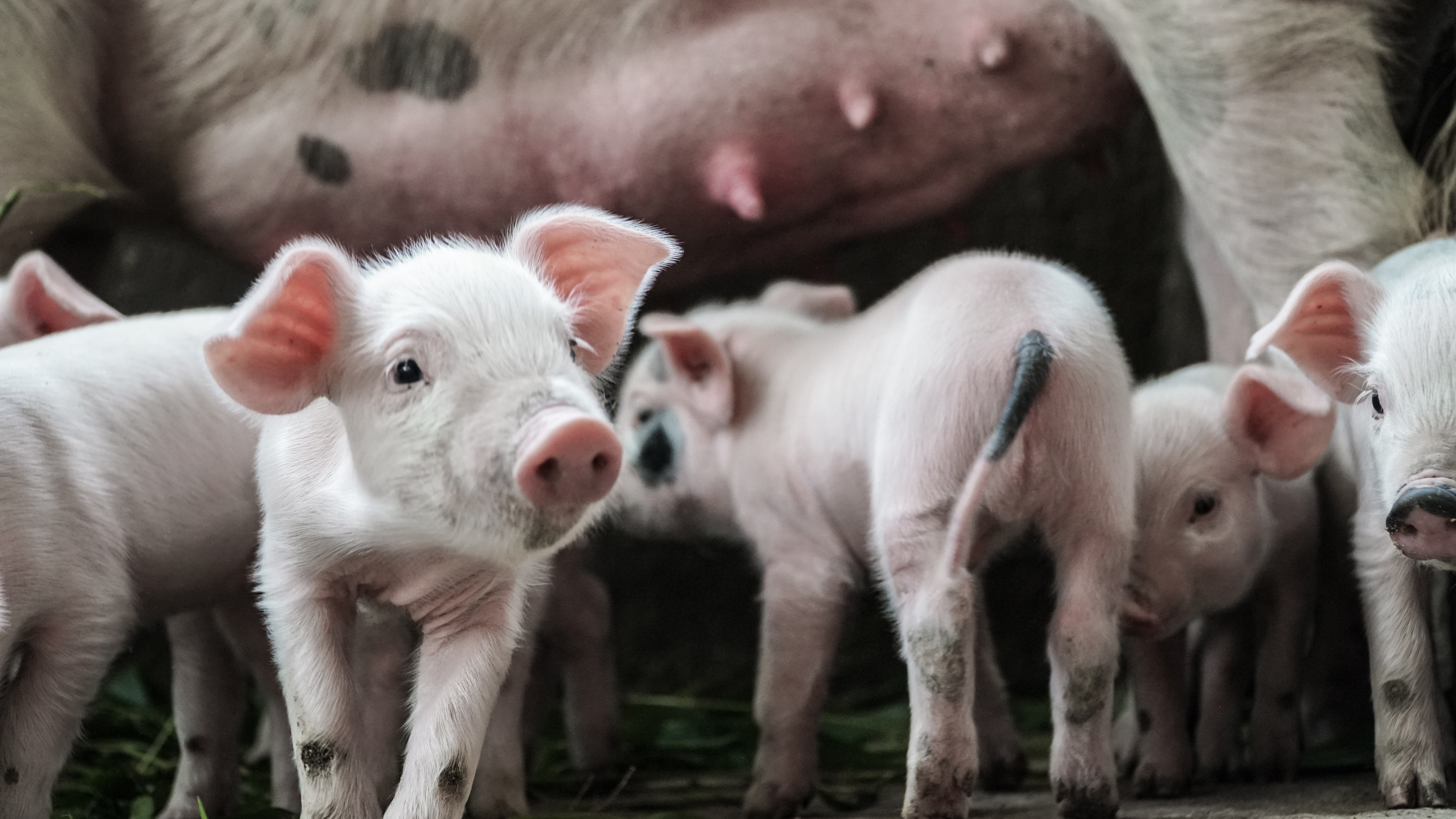 PERSPECTIVES: Can Nutrition Help Mitigate Unique Welfare Issues in Modern Sows?