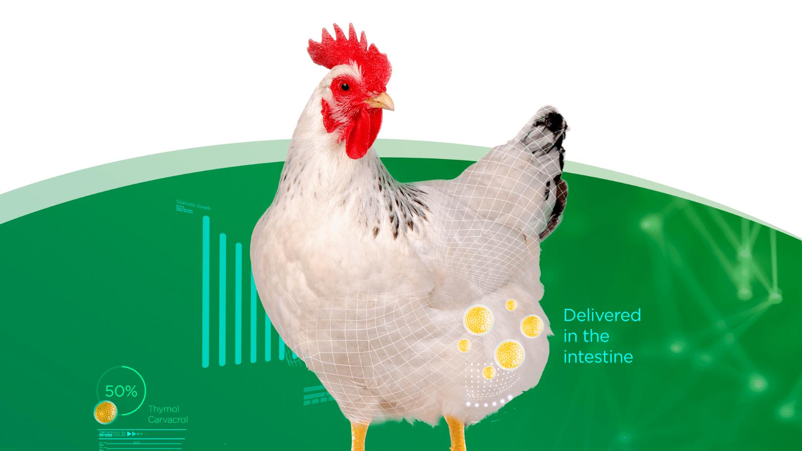 Une solution essentielle pour la santé intestinale des poulets