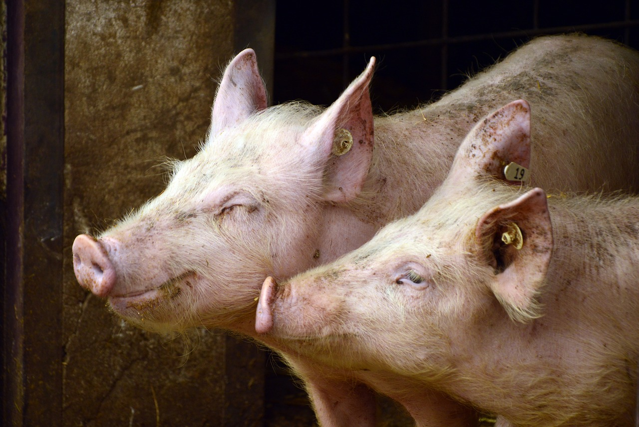 Novus to Present Guidance on Swine Biosecurity at African Swine Fever Event