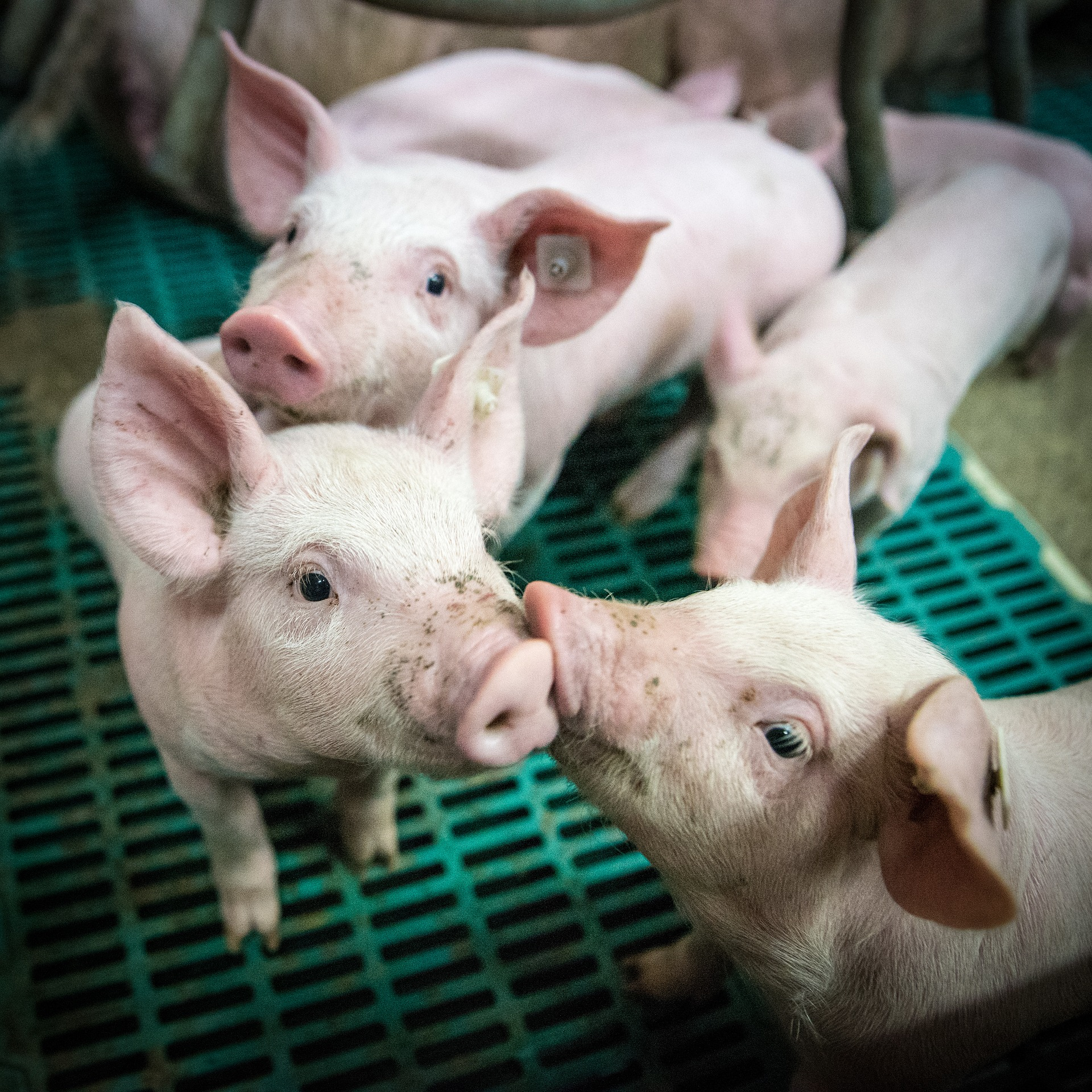 INSIGHT: African Swine Fever - Chinese Industry Recovery Path