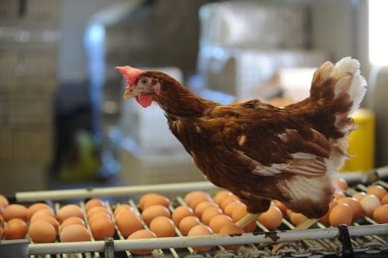 Pivotal to Performance: Trace mineral supplementation for breeder hen efficiency